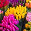 Заработать на продаже тюльпанов 8 марта.Тюльпаны оптом
