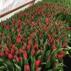 Оптовый заказ на тюльпаны в Минске выгодно