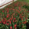 Тюльпаны выгодно оптом в Минске к празднику .