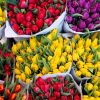 Тюльпаны голландские оптом к 8 Марта.