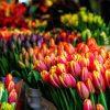 Тюльпаны к 8 Марта оптом заказать сейчас